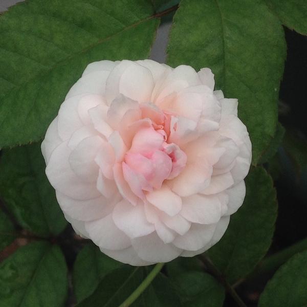 3番花…「粉粧楼」‼️