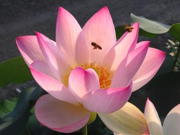 小舞妃とミツバチ