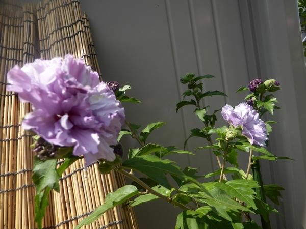 紫玉2番花咲きました!