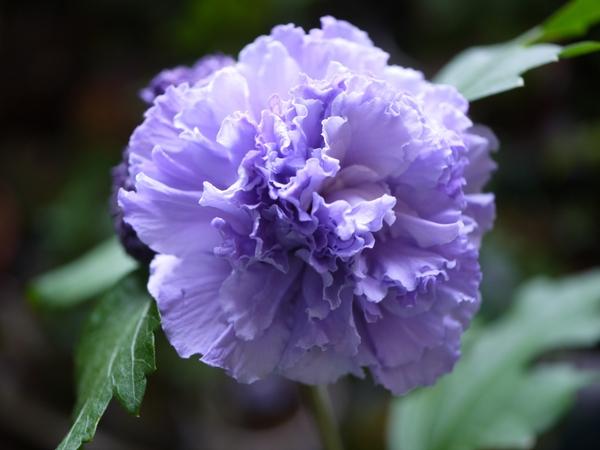 紫玉が咲きました~[i:203]