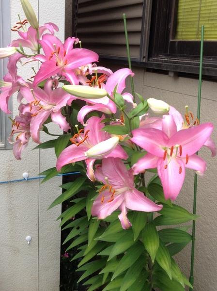 ピンクの百合様!14個咲きました!☆*:.。. o(≧▽≦)o .。.:*☆