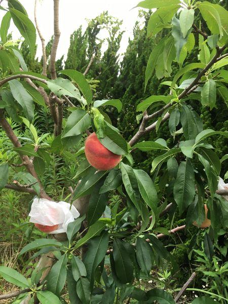 桃 収穫しました
