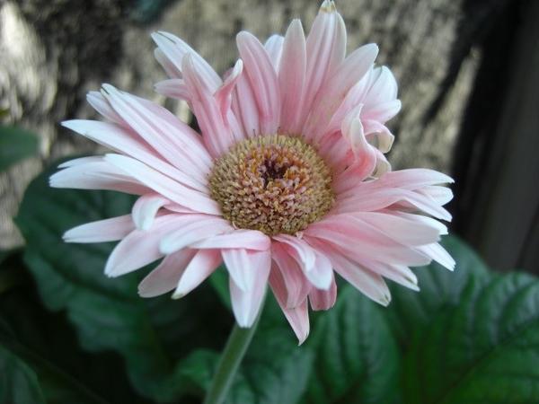ピンクの花たち[i:139]