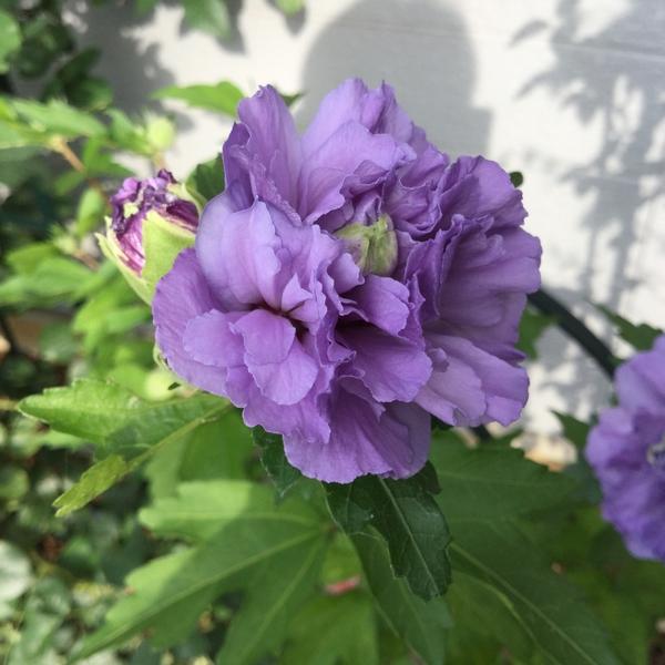 ムクゲ 紫玉 咲きました 。