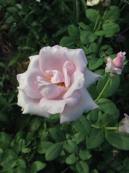 お散歩で見つけた…青い薔薇!