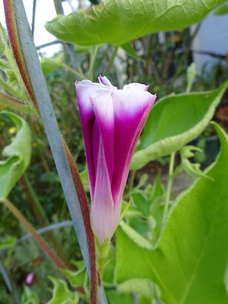 変化朝顔の初花♪