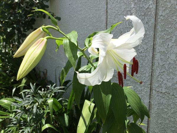 百合さん達が咲き始めました