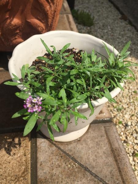 こぼれ種から芽がでて咲いたよ(*^_^*)