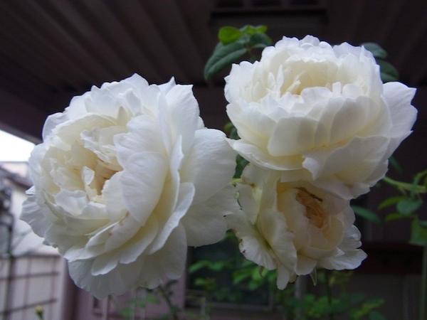 バラ 二番花かな?