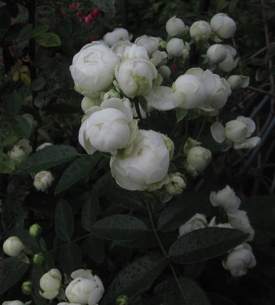 バラの花と Uo・ェ・oU
