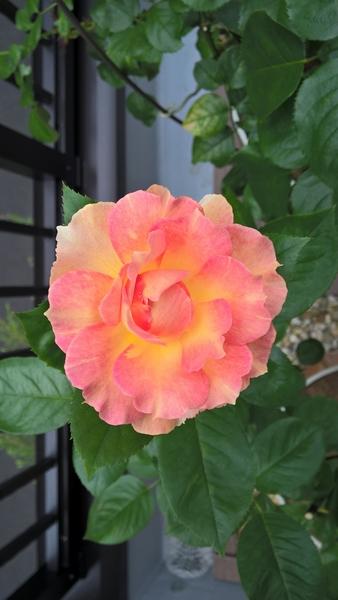 夏バラ開花
