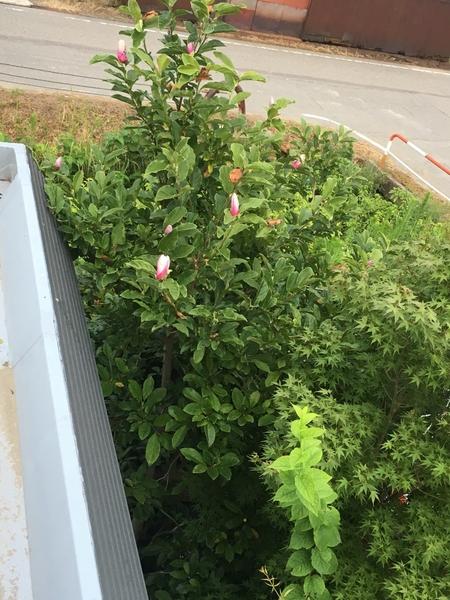 マグノリア二度咲き