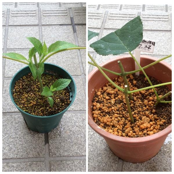 挿し木の定植