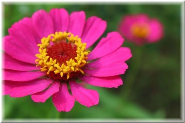 ピンクの花 ①