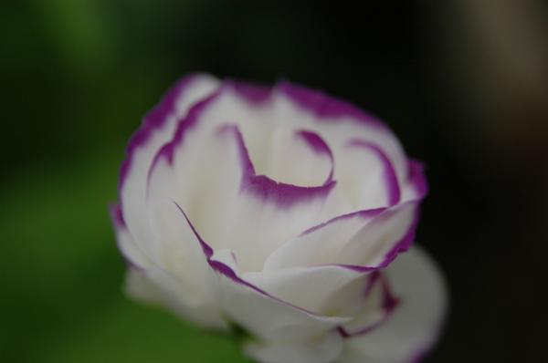 2年目も開花