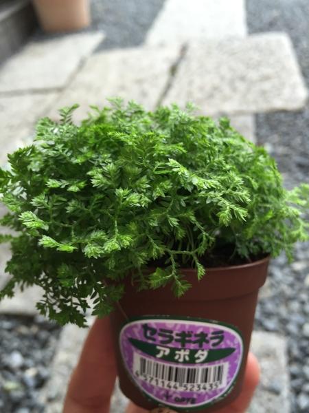 観葉植物を買ってきました