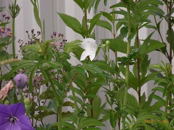 白花 出現