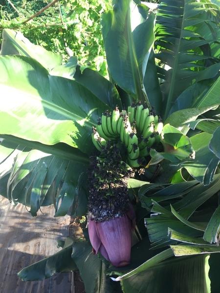 栗源クラインガルテンのバナナ 第二段