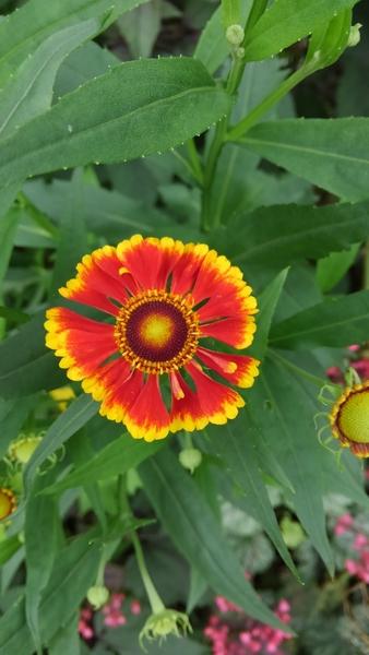 ヘレニウム 開花
