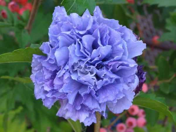 紫玉とアフロディーテ