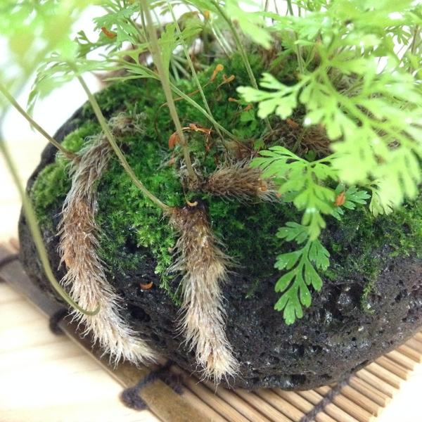 ミニ盆栽の西洋シノブ