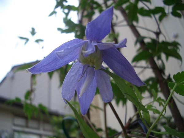 初物(花)