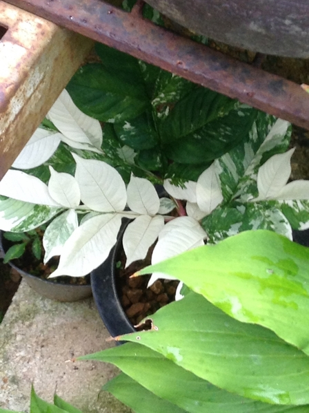 山野草の奥さんのお庭には斑入り葉がいっぱい!