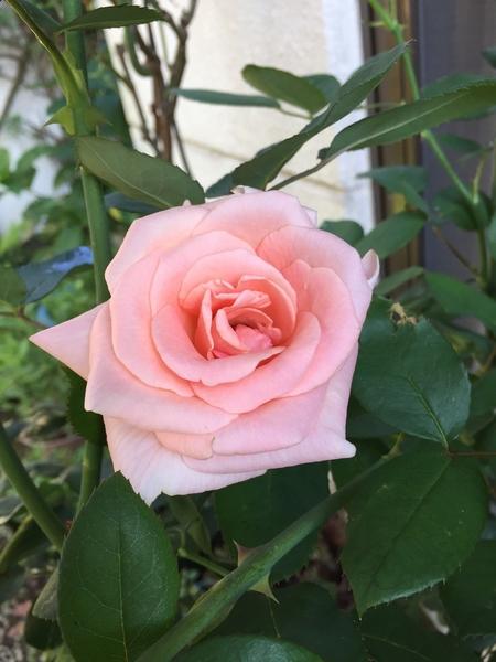 今朝のバラ