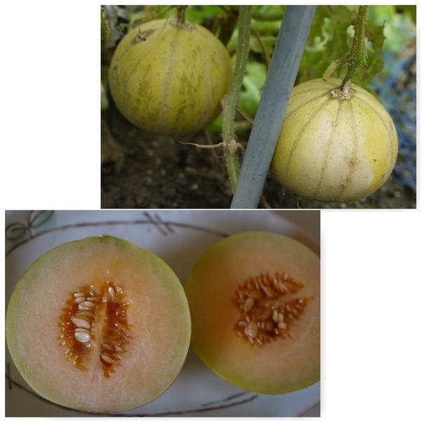 ミニメロン、初収穫[i:140]