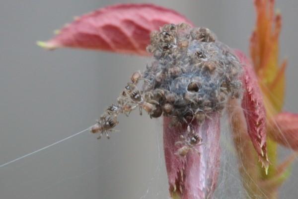 [閲覧注意]クモの子の画像あり