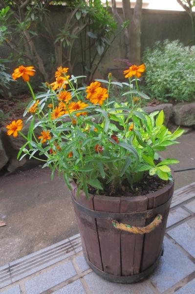今日の鉢植えの花