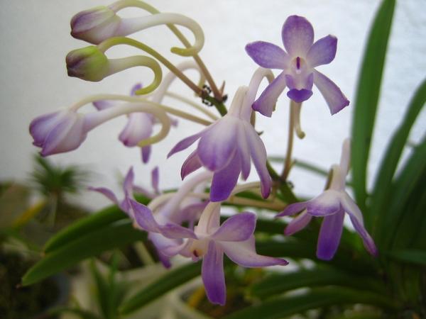 紫の風蘭と夏空