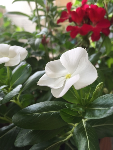 日と星の花