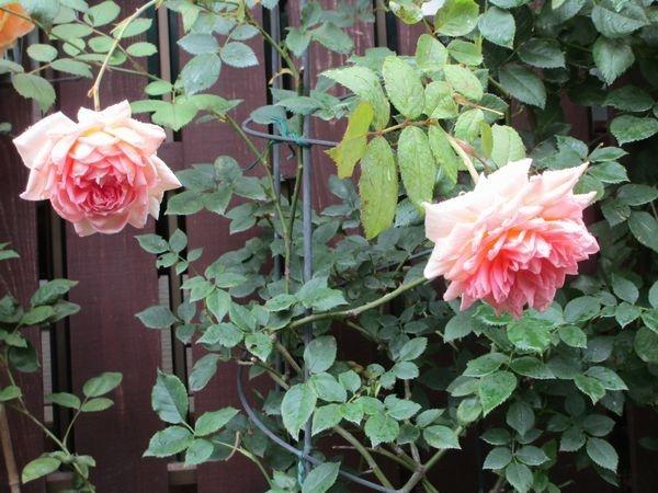 バラとカサブランカ