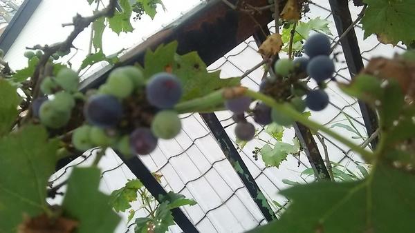 今年の山葡萄の初収穫です 。2016年