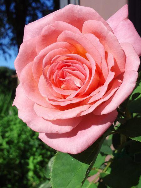 やさしいピンクってこんな色