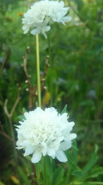 真夏の白い花