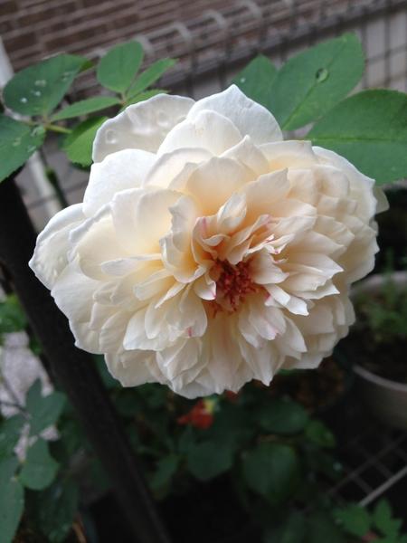 今朝のお花