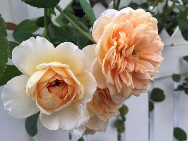 夕方のバラ様
