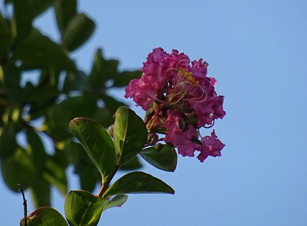 あのサルスベリに花が!