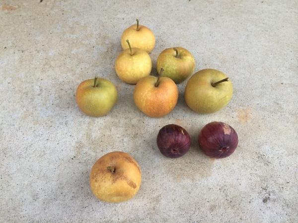 8月5日幸水梨とイチジクの収穫