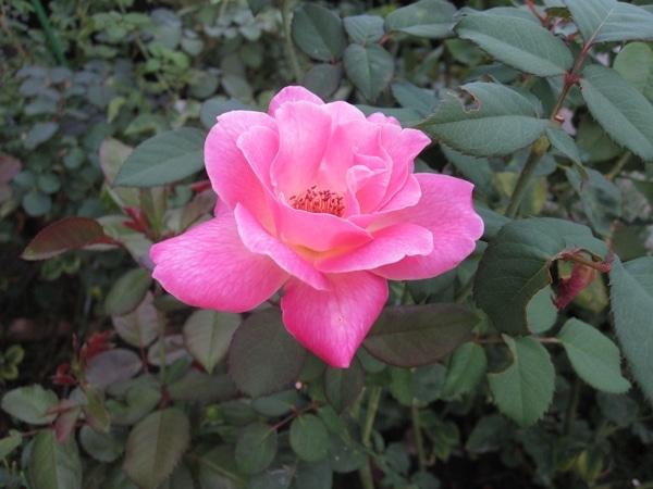 薔薇・朝顔・玉すだれ