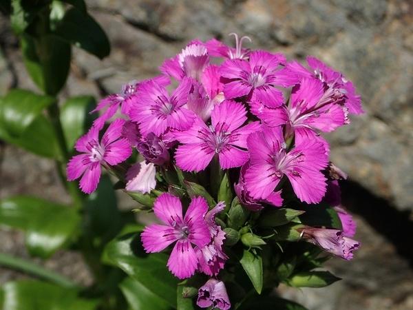 ハマナデシコの花