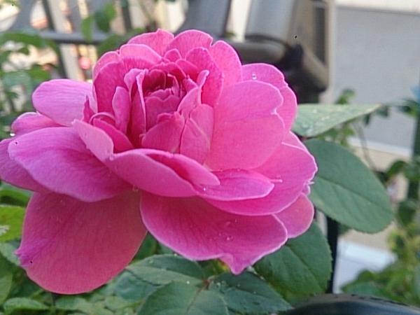 バラの夏休み
