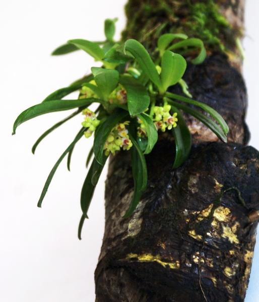 日本の野生蘭。