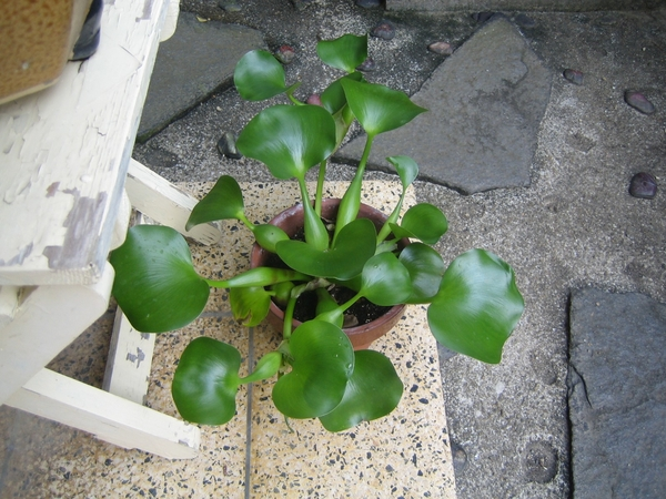 ホテイアオイの鉢植え②