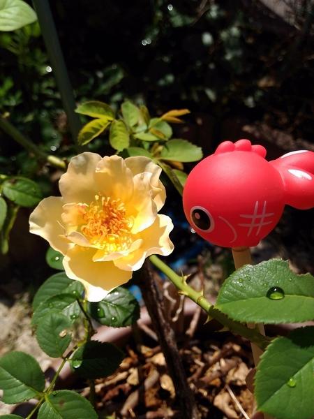 夏バラが咲いてました♪