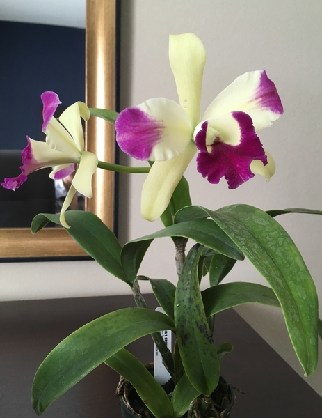 6th Annual Cattleya Symposium: 続3