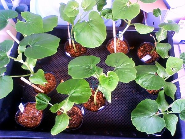 秋作のかぼちゃ苗