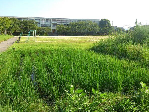 小学校の田んぼ